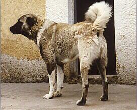 kaukasischer hirtenhund wesen
